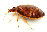 Bed Bugs in TN